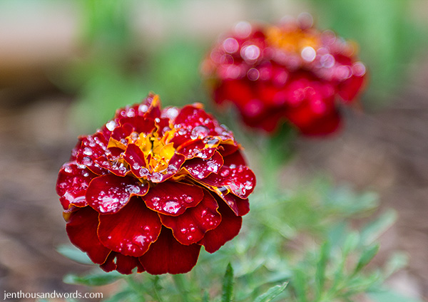 Marigold after the rain 3