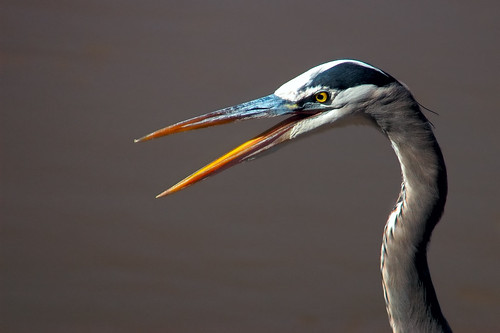 Great Blue Heron Gossip | by Fort Photo