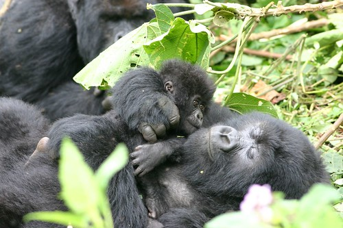 Baby and momma gorilla,  Rwanda at the Volcanoes National Park
