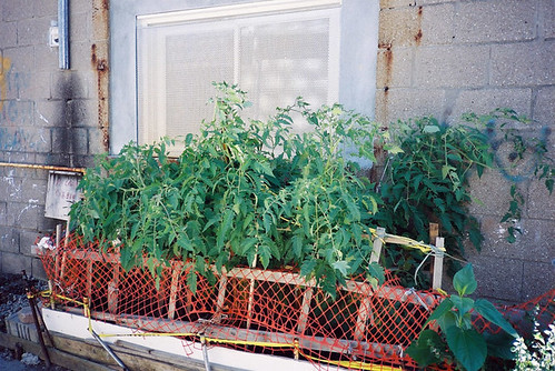 tomatoes in an alley | by yougrowgirl