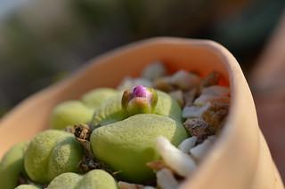 DSC_4401 Conophytum pillansii  コノフィツム ピランシー 翠光玉