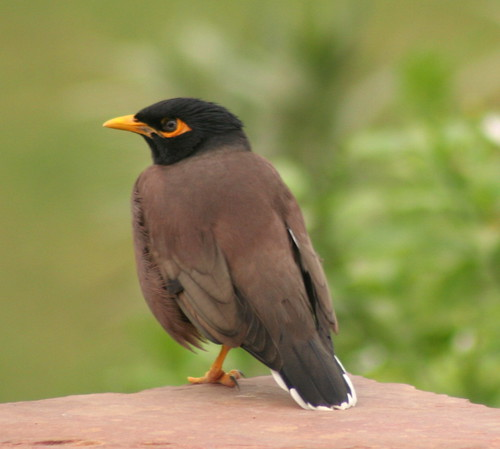 Mynah bird | by foxypar4
