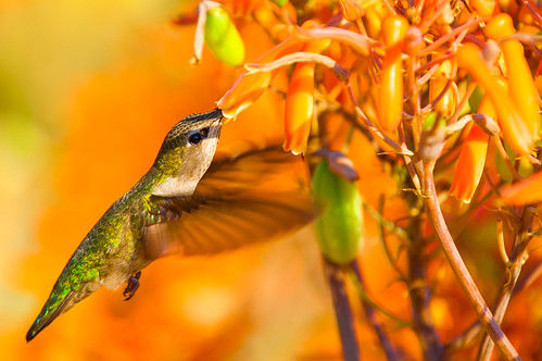 Hummingbird 14 | by Danny Perez Photography