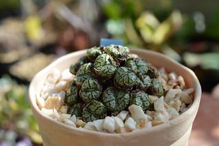 007 Conophytum ursprungianum  コノフィツム 藤原阿嬌