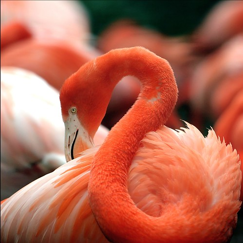 the classic flamingo pose | by stevehdc