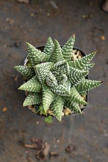 DSC_4790 ハオルチア ドーナツ バル Haworthia maxina hyb.