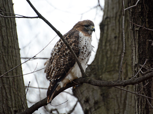 Riverside Red-tail - 0941