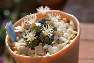 DSC_4675 Conophytum ursprungianum  コノフィツム 藤原阿嬌