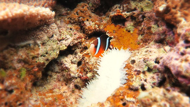 Anemone Fish at Manza Beach Okinawa