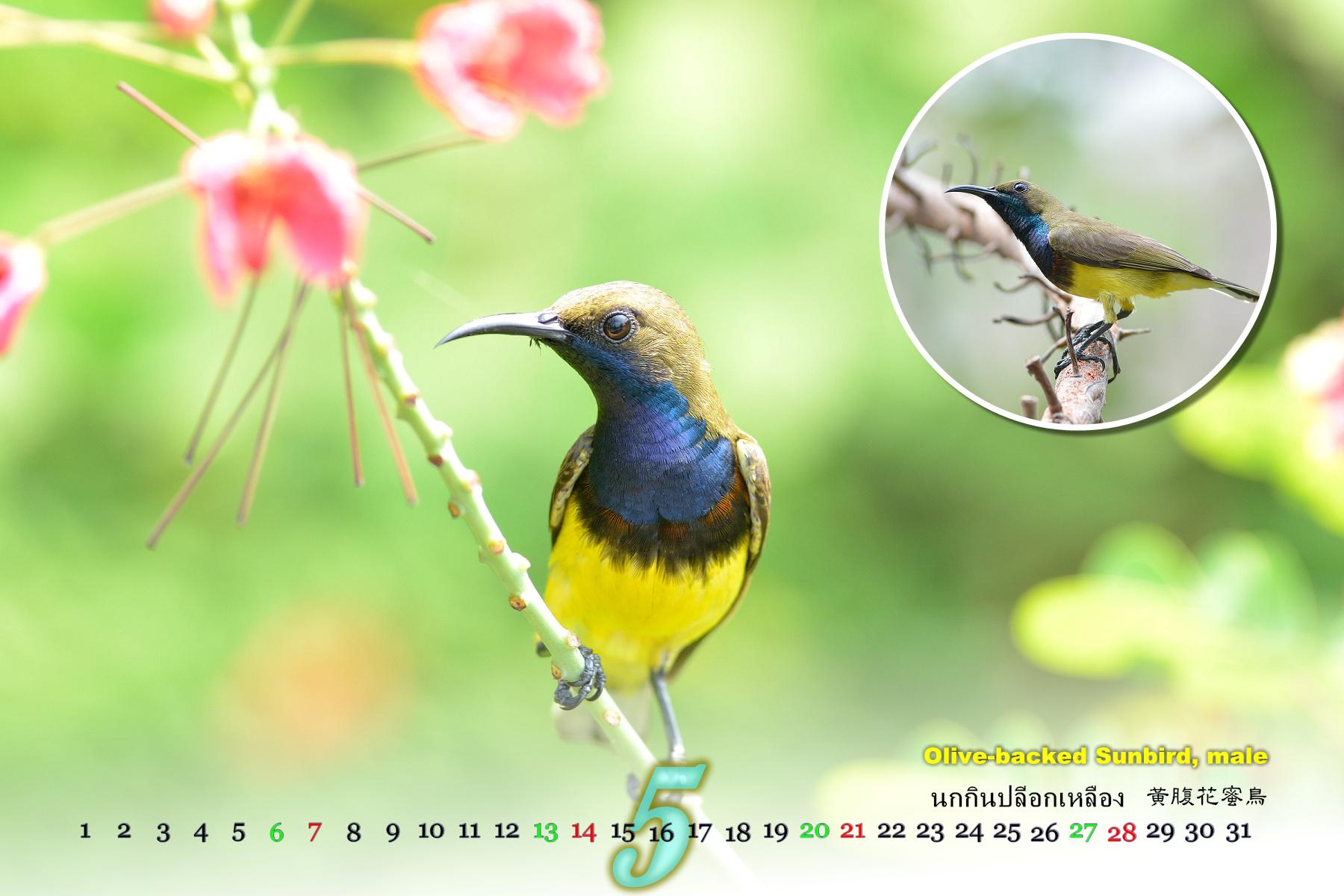 Thai Bird Calendar 2017_05