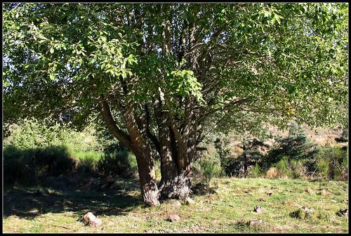 Salix caprea - saule marsault, saule des chèvres 32103870201_e94674517a