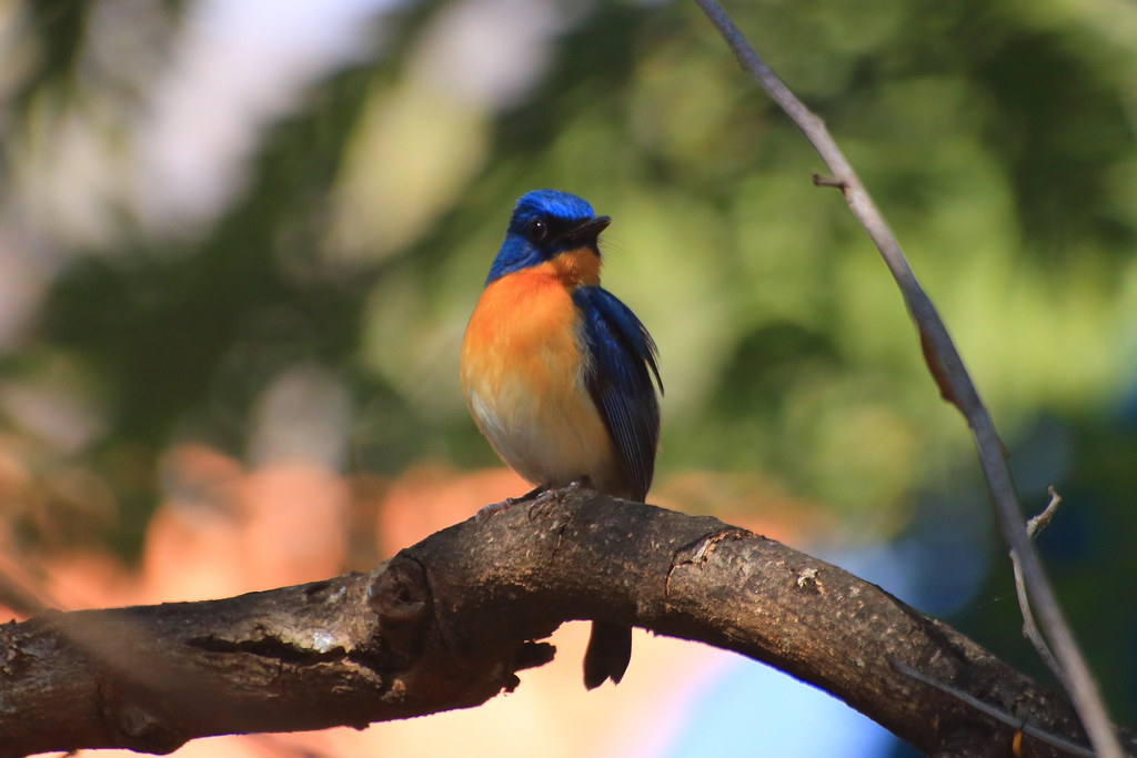 Tickell's Blue flycatcher, male