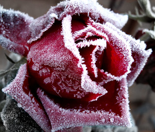 Frosted Rose | by wit