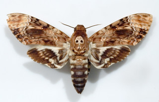 Death's-head Hawkmoth | by Trevor H