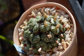 DSC_4634 Conophytum ursprungianum  コノフィツム 藤原阿嬌