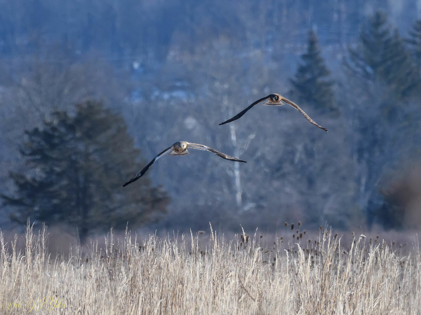 Rough legged Hawk chased by Northern Harrier