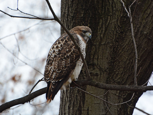 Riverside Red-tail - 0956