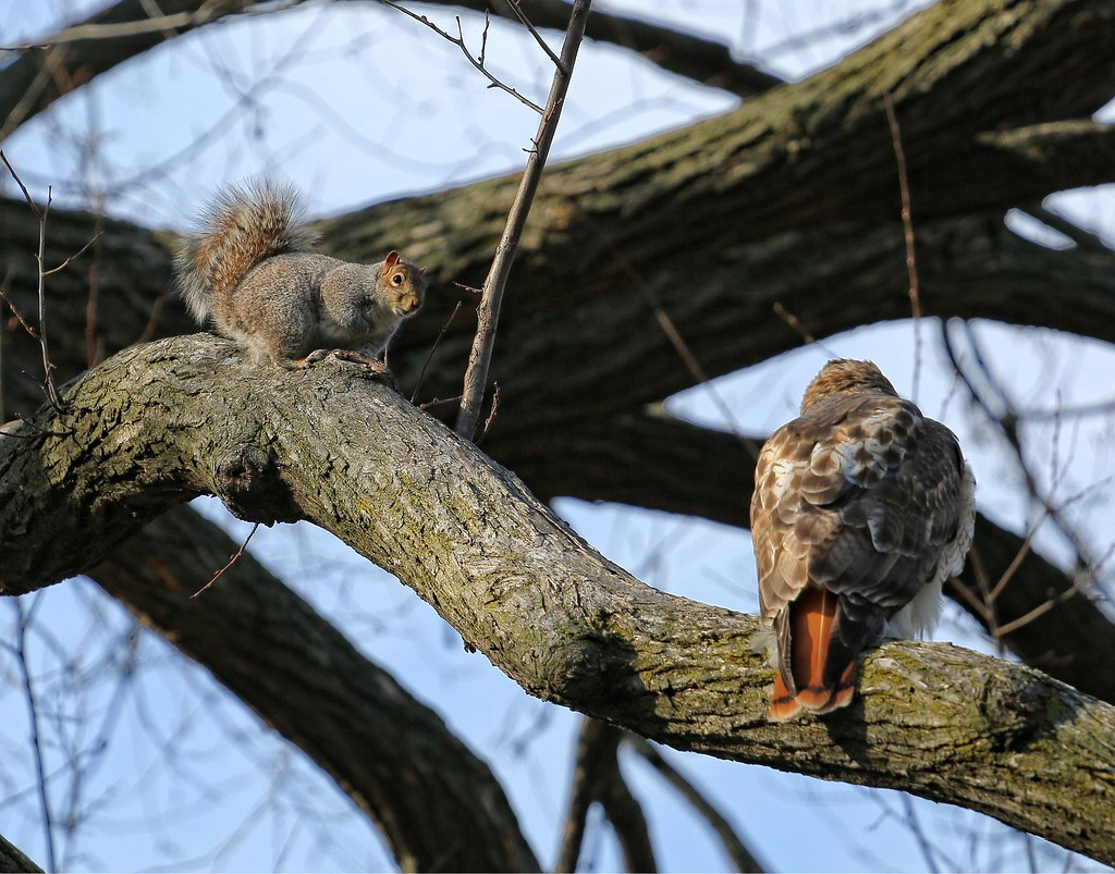 Squirrel and hawk hanging out