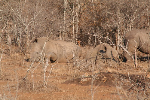 Bigger group of rhinos