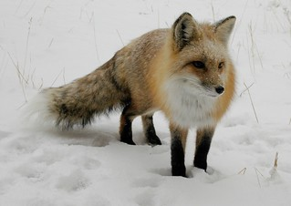 Fox in Snow | by Rob Lee