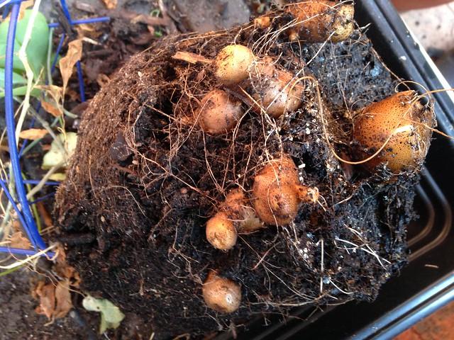 Roots on the Madeira (or Mignonette) vine - Anredera cordifolia