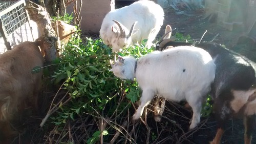 goats eating privet Dec 16 1