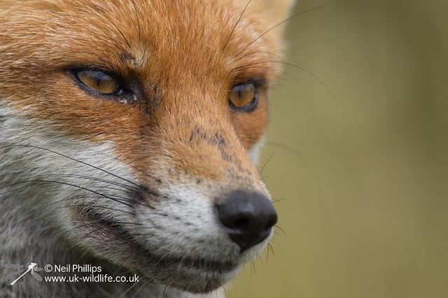 35 fox cub