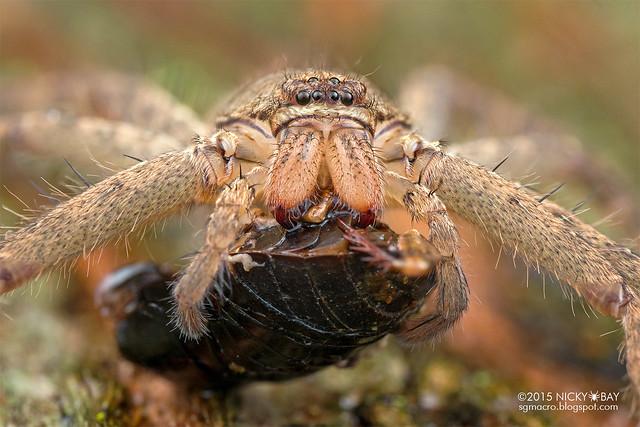Huntsman spider (Heteropoda sp.) - DSC_2361