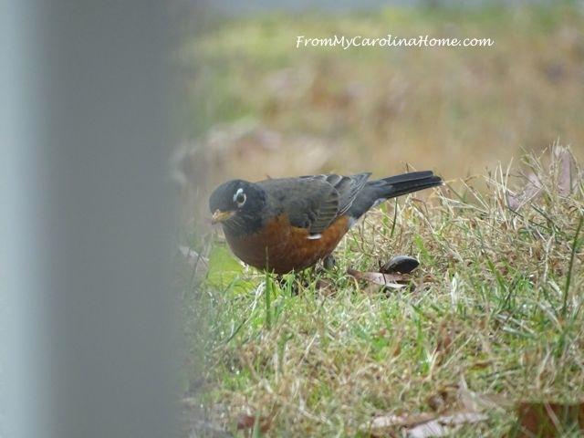 December Robins 3
