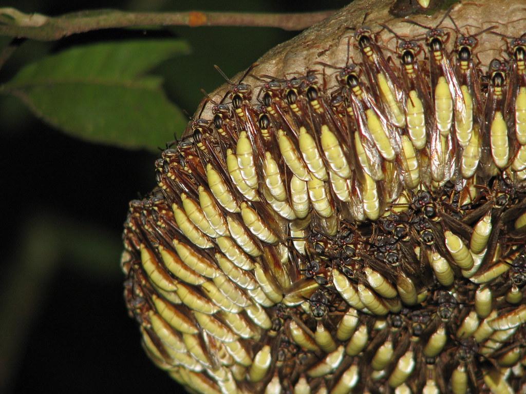 Golden Silk Wasps - Apoica aff. pallens
