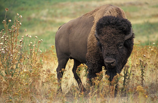 bison | by Royalty-free image collection