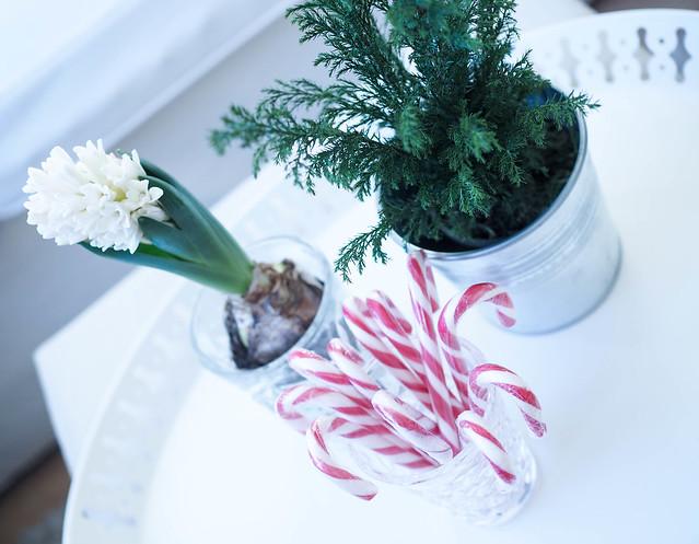 PC069296ChristmasDecorHome.jpg, hyasintti, havu, jouluhavu, joulukasvi, joulukukka, valkoinen hyasintti, valkoinen joulukukka, white christmas flower, white hyacinth, sypressi, vihreä sypressi,