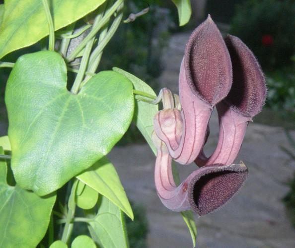 Aristolochia baetica 31234822753_962c3c2db4_o