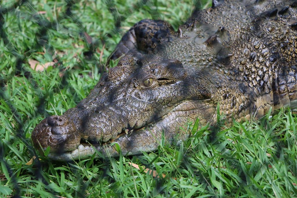 Crocodile - Australia Zoo