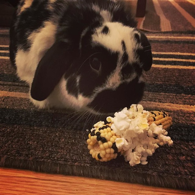 Rocky and his tiny corn cob treat. You can microwave it to make popped-corn-on-the-cob. #houserabbit