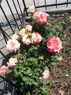 Multi color rose bush brodick flickr for Multi colored rose bushes