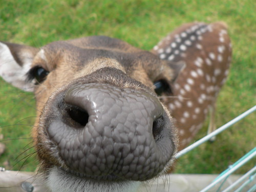 Nosey Fallow Deer! | by johnmuk