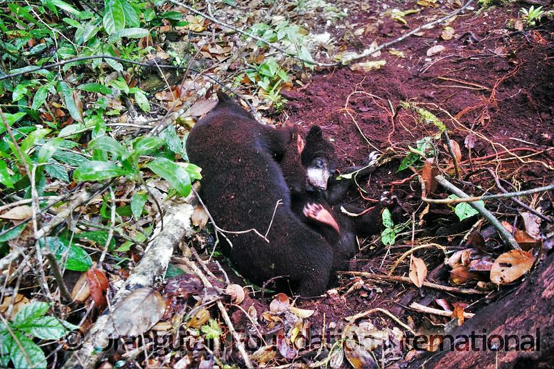 17.09.16._Sun Bear Cub Release_CGD_30_John Kobar_wm