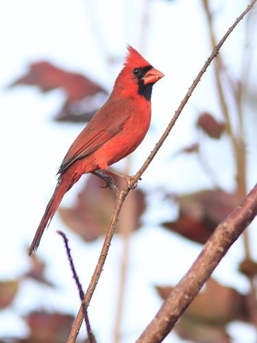 Northern Cardinal 20151212