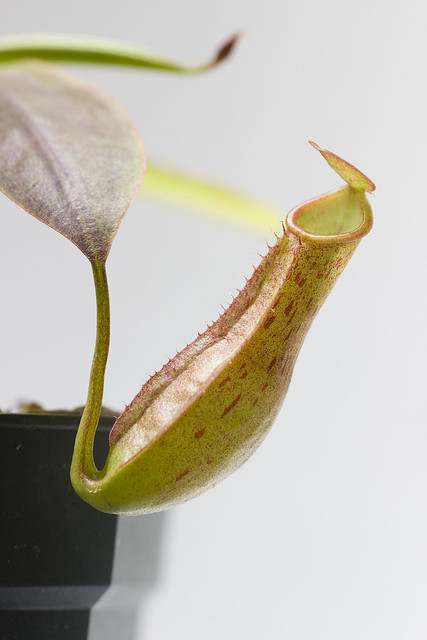 "Nepenthes reinwardtiana ""Red Flush"" BE"