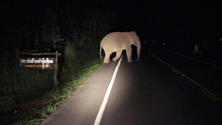 ช้างป่า