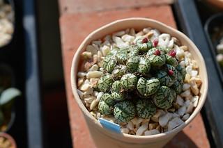 099 Conophytum ursprungianum  コノフィツム 藤原阿嬌