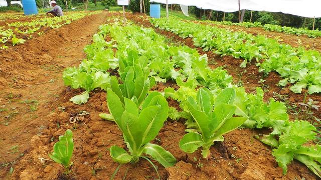 Organic-Lettuce-Leyte