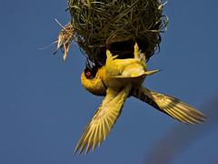 Masked Weaver (Ploceus velatus) | by Nature Photographer