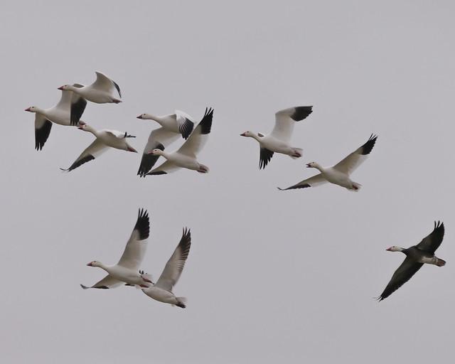 Snow Goose Flock - 3