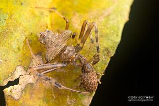 Orb weaver spider (Verrucosa sp.) - DSC_1523