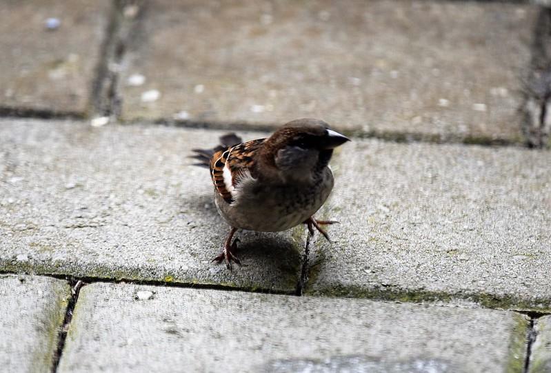 Sparrows 31.12 (13)