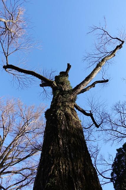 Baobab like tee Inokashira Park 03
