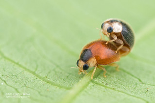 Micro ladybirds (Scymninae) - DSC_8621