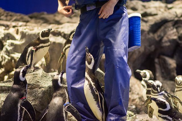 飼育員さんの足元からごはんをねだるペンギンの写真